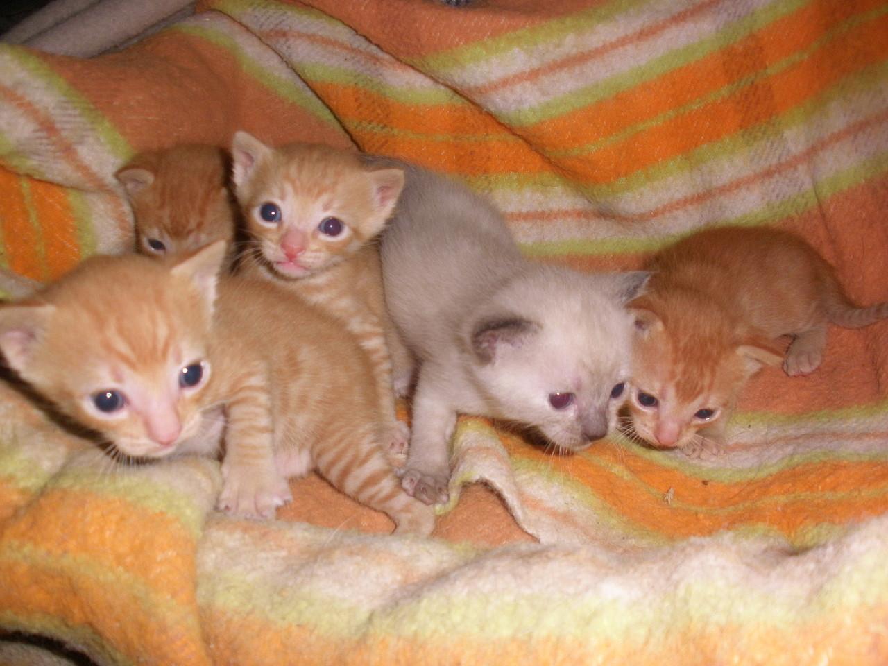 Gatitos Comun Europeo, 4 machos y 1 hembra, 29 dias. Criados con perros. Guipuzcoa 31502962BE264FAD31C72E4FAD2E0C