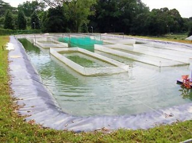 Criaderos en singapur acuario for Criadero de pescado