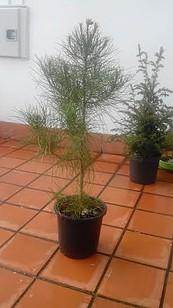 Bonsai del norte vendo pinos pi oneros asturias bonsai for Bonsai vendo