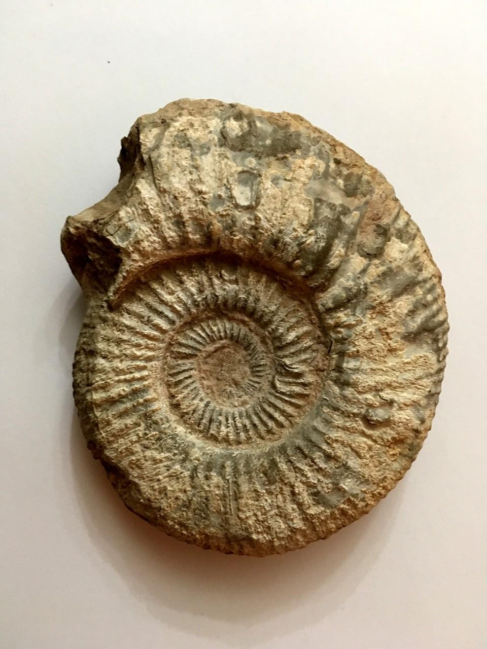 Ayuda con un par de ammonites 235BA38655285B559D28215B559D21