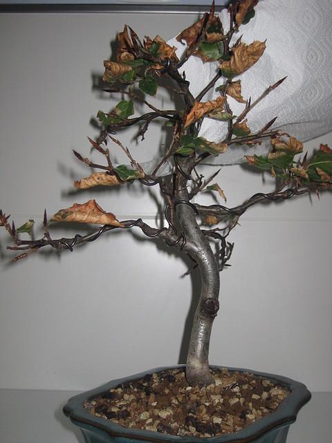 Bonsai del norte gure pagoa un haya adoptada bonsai - Bonsai de haya ...