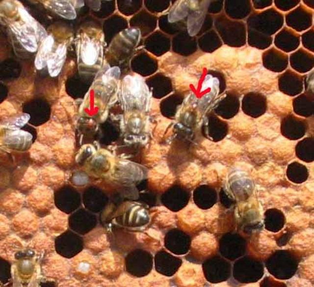 Comunidad de foros de Apicultura - Regreso a abeja en celdillas de ...