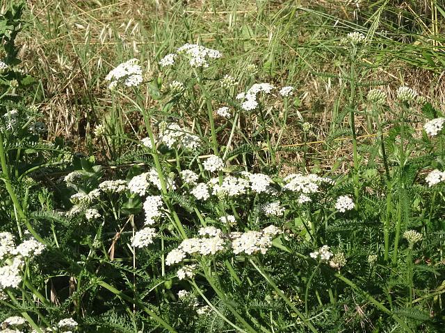 Repoblación autóctona - Plantas herbáceas - Principal