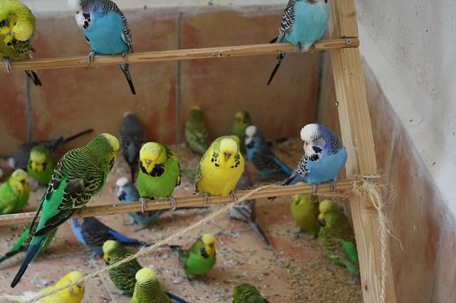 Fotos de nidos de periquitos australianos 89
