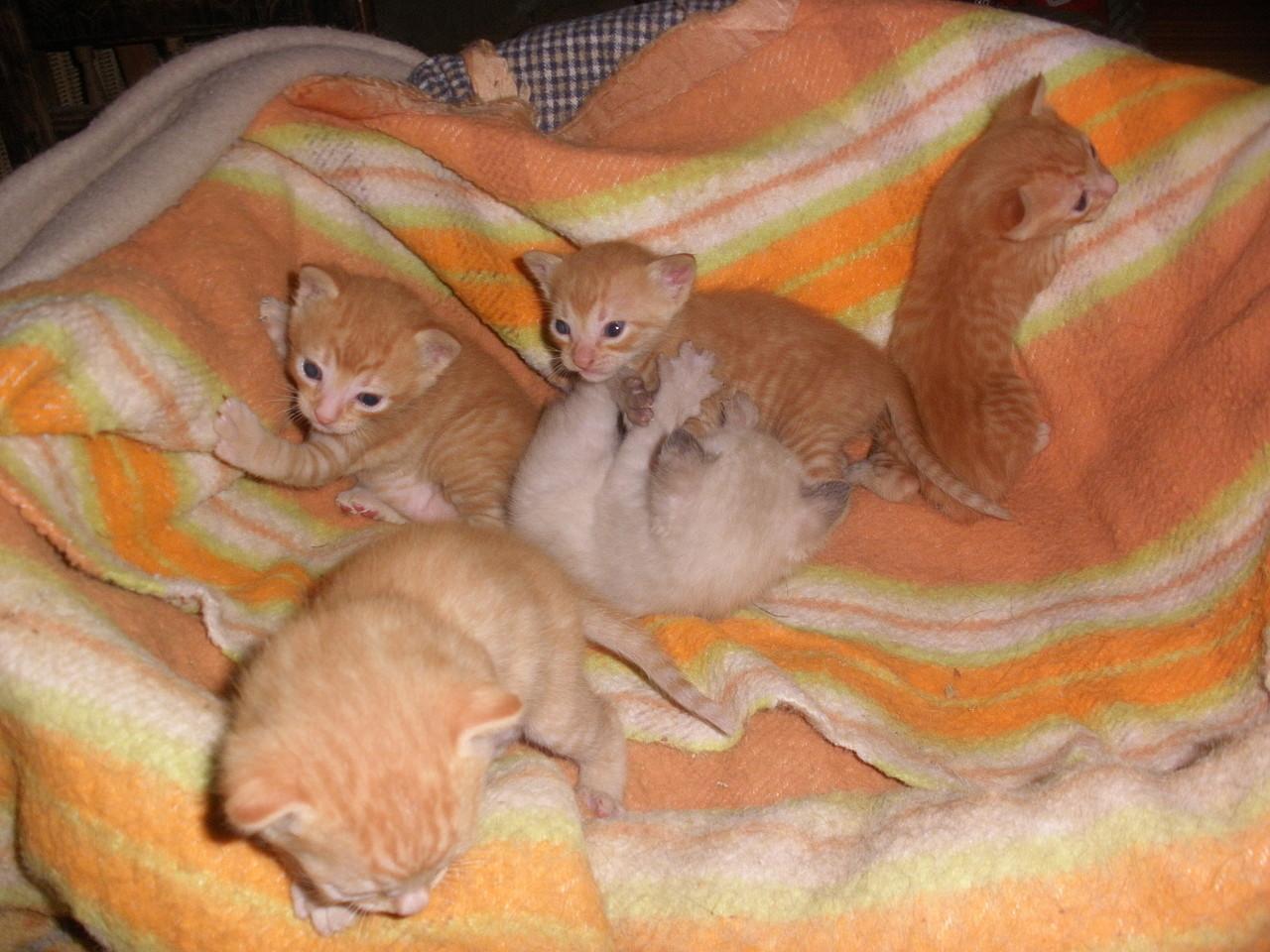 Gatitos Comun Europeo, 4 machos y 1 hembra, 29 dias. Criados con perros. Guipuzcoa 3B502962FE204FAD32092F4FAD2E4C