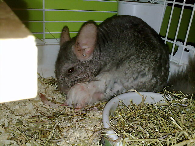 fotos de chinchillas bebés