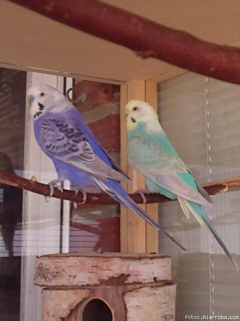 Fotos de nidos de periquitos australianos 30