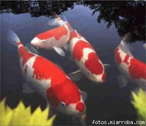 Koi carpas japonesas acuario for Carpas para acuario