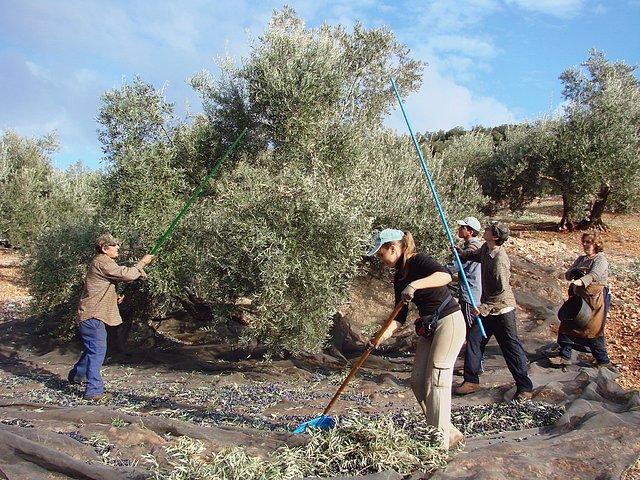 Recol.lecció de les olives