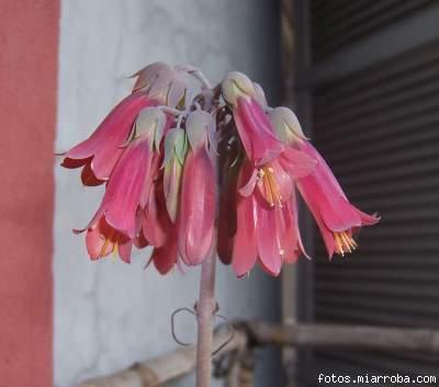 Fotos de flores de cactus y suculentas 1 pgina 6 holidays oo for Cactus de navidad