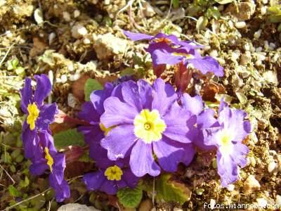 VIVACES Y ANUALES- Ficha 4: PRIMULA (Primavera) 7f4a9361