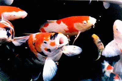 El rey del estanque los koi acuario for Estanque carpas koi