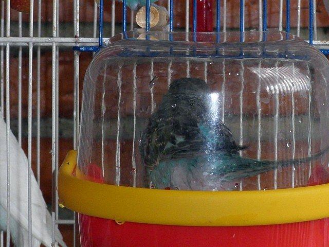 De los periquitos ondulados piscina para mi periquita periquitos foro general - Piscina los periquitos ...
