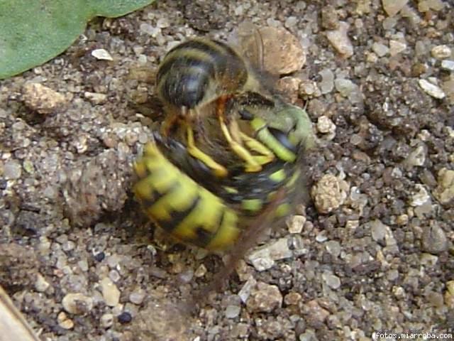 avispa cazando abejas