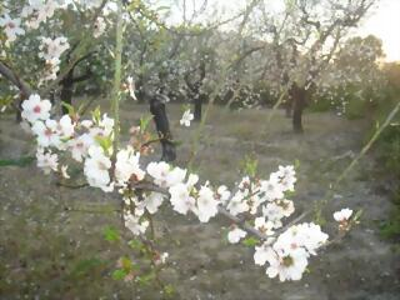 Almendros 2008, Charco, Villajoyosa