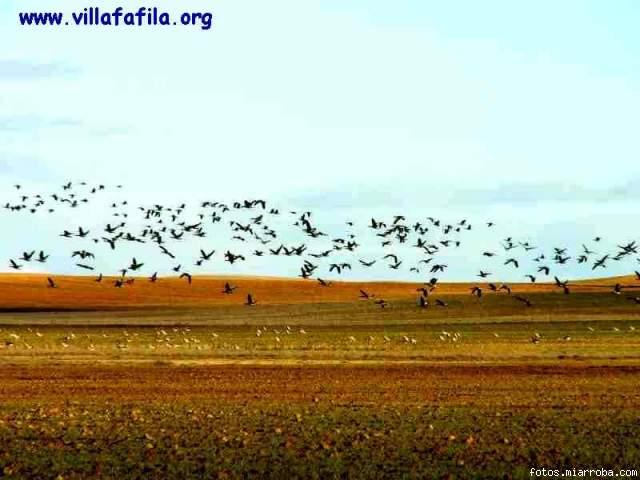 Ansares en la Reserva de Villafáfila