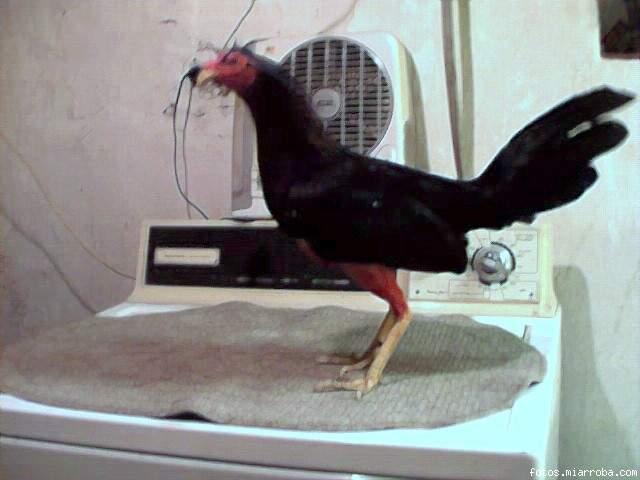 gallino negro
