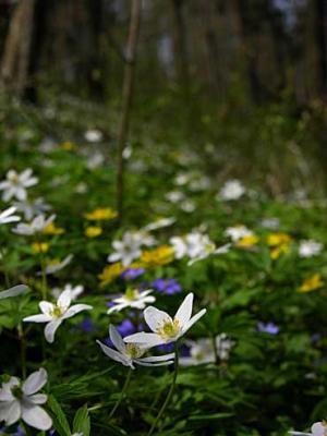 anémonas florecientes
