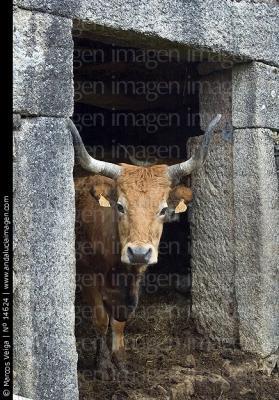 vaca en puerta de cuadra