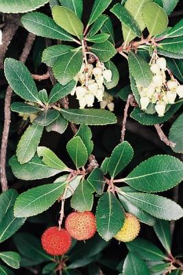 Madroño: hojas, bayas y flores. Foto J. Piera