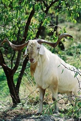 Macho de cabra valenciana, Foto J. Piera