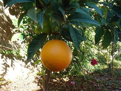 La primera y única naranja de este árbol