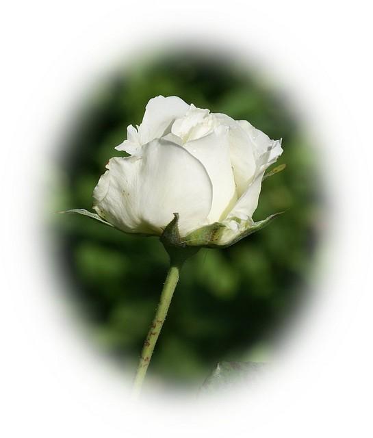 rosablanca1