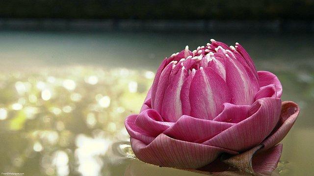 Young-Thai-Lotus-1