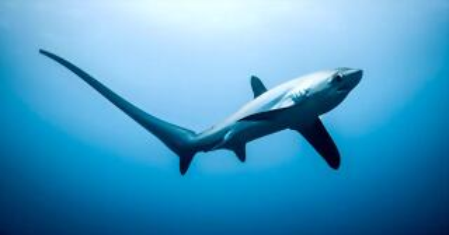 tiburones-zorro