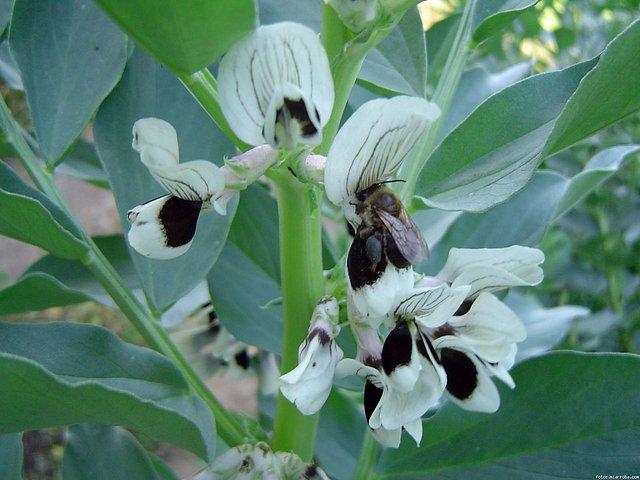 polen morado