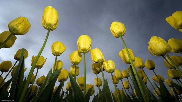 Low-Tulips-1