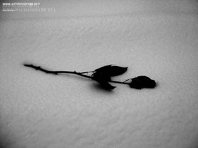 rosas_negras_gothicvsdark.net_ (4)
