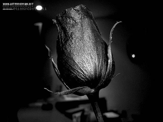 rosas_negras_gothicvsdark.net_ (2)