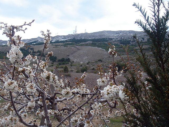 Cerezos en flor, fondo Aitana