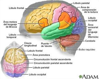 cerebro_lobulos_adams