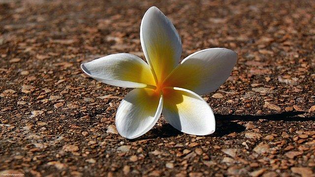 Fallen-Flower-1
