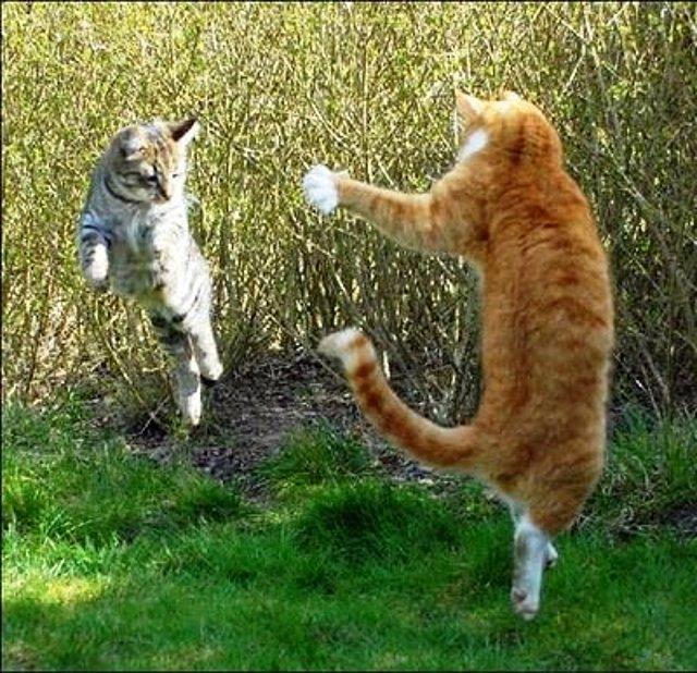 Pelea gatos (foto de internet, sin fines de lucro)