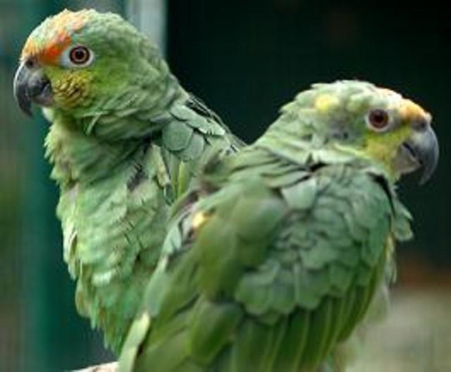 fotos-loros-verdes