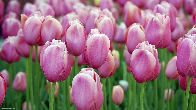 Tulip-Cluster-1