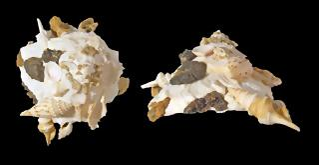 Xenophora-Pallidula-1024x529