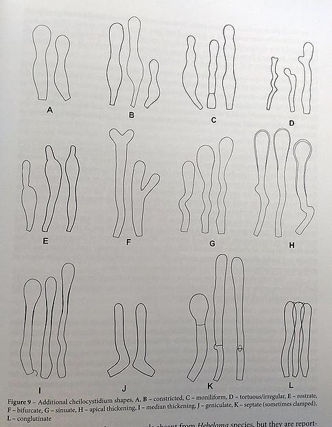 formas-de-los-queilocistidios-en-Hebeloma-2