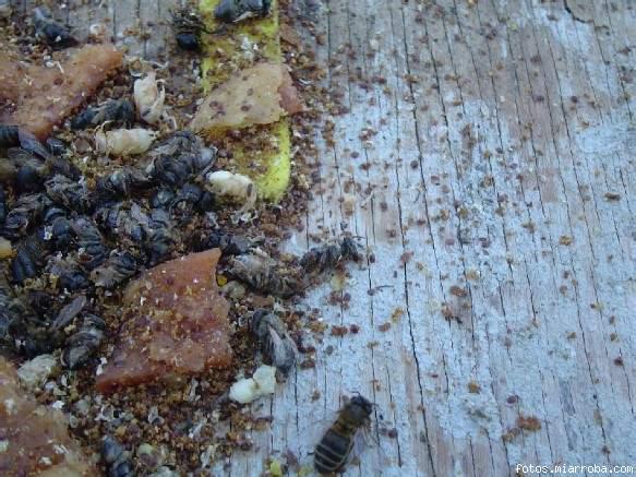 caida de varroa con timol en colmena control