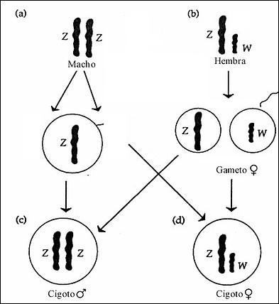 CromosomaZW01