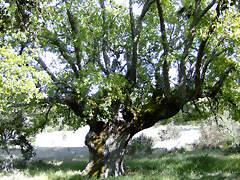 Quejigo del Conejal (Alemeida de Sayago)